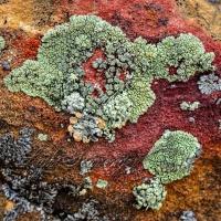 Lichen at La Ventana