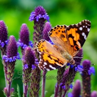 Painted Lady and Spike Verbena