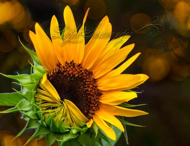 Partially-Open Sunflower