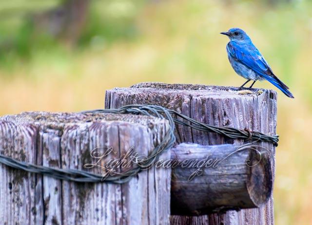 Bluebird on corral fence at Valles Caldera