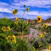 Rio Chama and Sunflowers