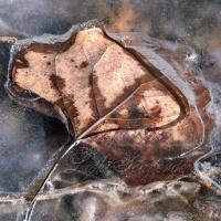 Fallen Cottonwood Leaf in Ice