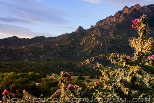 Cholla Blooming in the Sandia Foothills