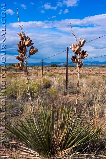 Dried Yucca Stalks