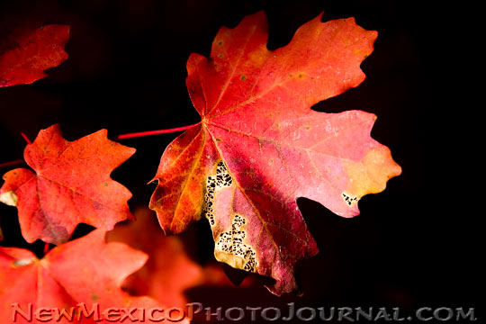 Rocky Mountain Maple Leaves