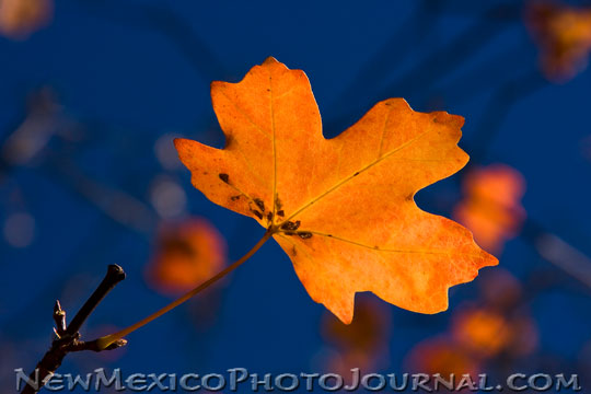 Rocky Mountain Maple Leaf