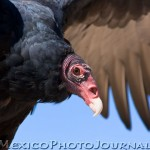 Turkey (Vulture)