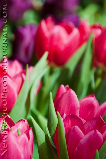 tulips at Rio Grande Botanic Garden