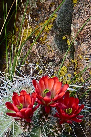 claret cup cactus blooming in the sandia foothills
