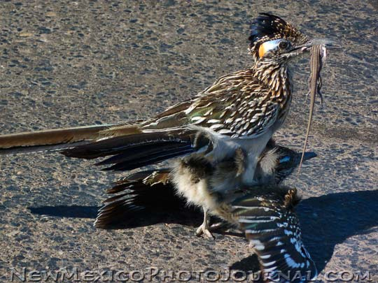 roadrunners mating -- one has a lizard in his mouth