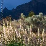 Sandia Wildflowers
