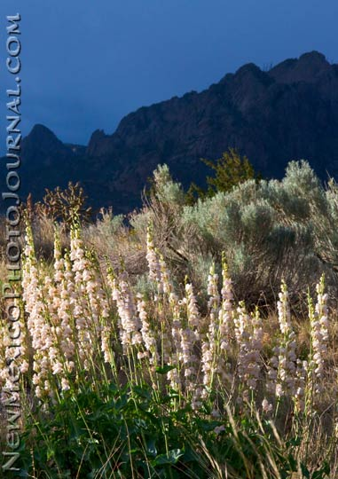 penstemons in the sandia foothills, against a glowering sky