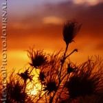 Apache Plume at Sunset