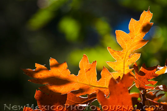 scrub oak leaves turning gold