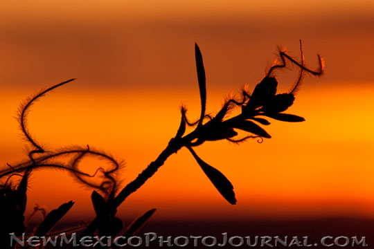 mountain mahogany is silhouetted and backlit by the setting sun
