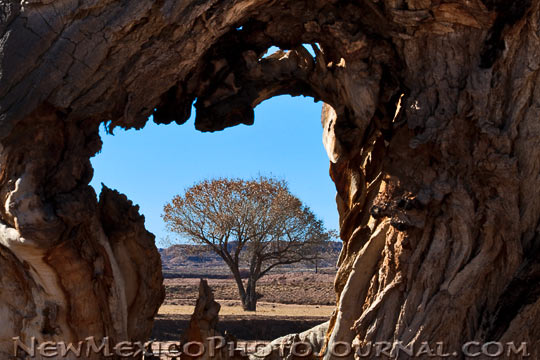 One cottonwood seen through a hole in another.