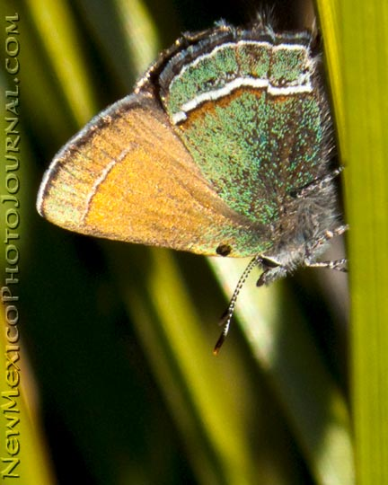 A Sandia hairstreak, the New Mexico state butterfly (Callophrys mcfarlandi)