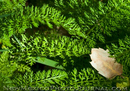 Ferns along a stream in the Sandias