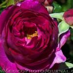 Albuquerque Rose Garden