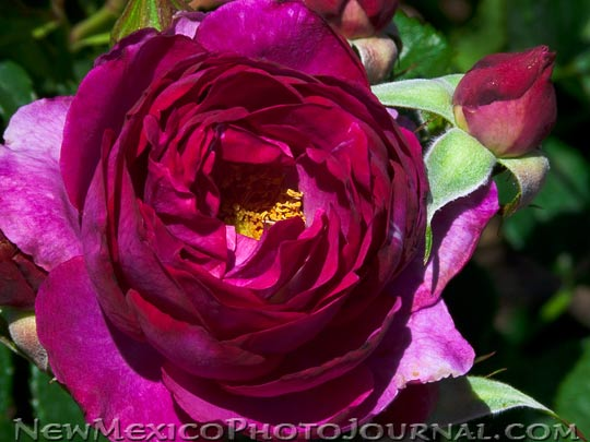 a deep red-purple rose