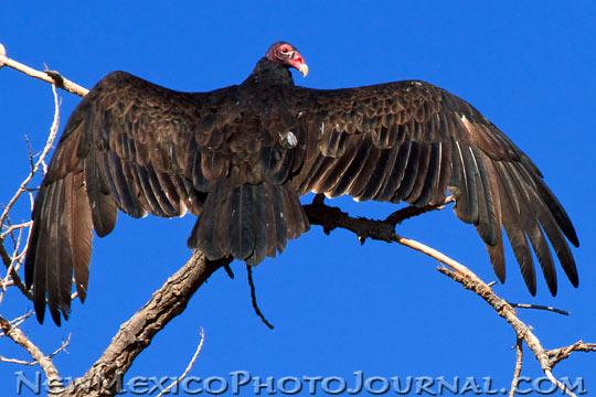 turkey vulture sitting high in a tree, sunning itself