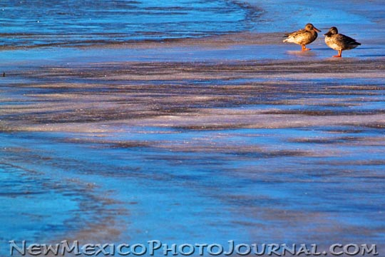 A pair of ducks perch on the ice in a pond at Bosque del Apache NWR