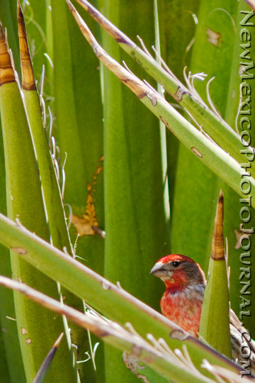 House Finch in Yucca