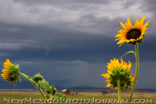 sunflowers blowing in the wind, northeastern New Mexico