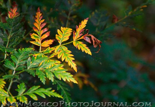 Osha Leaves turning yellow and orange