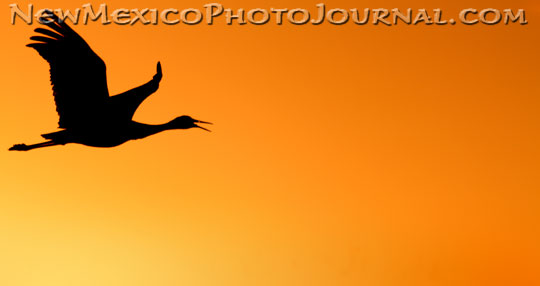 A sandhill crane is silhouetted by the setting sun