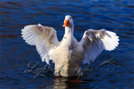 a goose at Tingley Beach airs out its wings