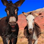 Burros at Ghost Ranch