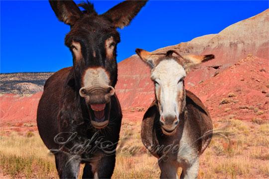 Burros at Ghost Ranch