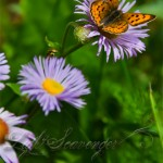 Butterfly and Purple Asters