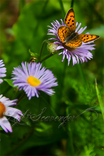 Lustrous Copper Butterfly on a Purple Aster