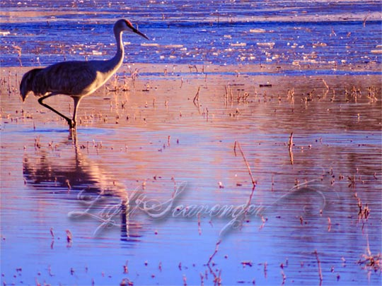 Sandhill Crane and Reflection
