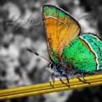 Sandia Hairstreak Butterfly