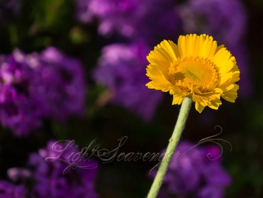 Desert Marigold and Verbena