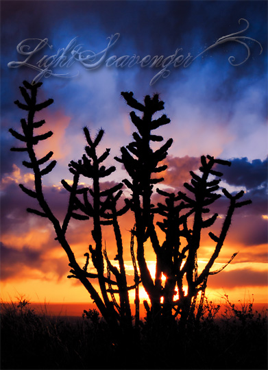 Cholla Silhouette with Rain Clouds at Sunset