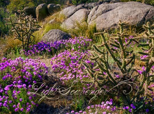 Sandia Foothills Wildflowers