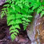 Ferns on La Luz