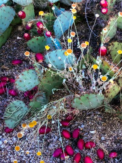Fallen Prickly Pear Fruits