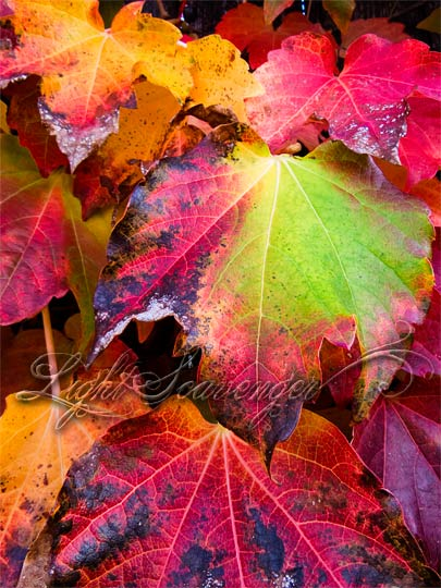 Multicolored Fall Leaves
