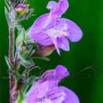 James's Penstemon
