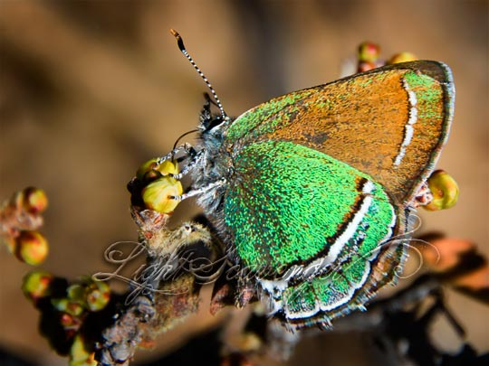 Sandia Hairstreak Using Its Proboscis