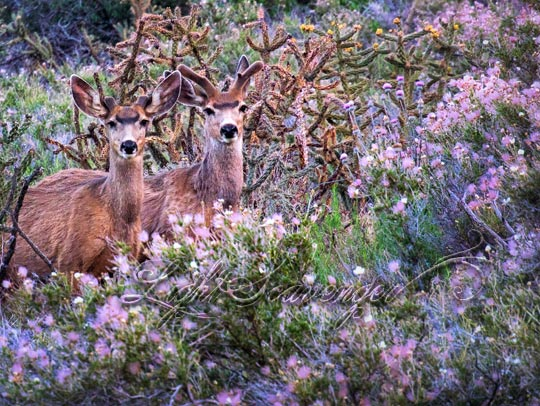 Two Buck Deer