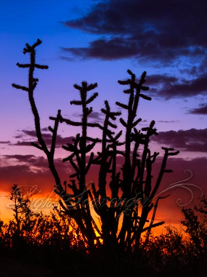 Cholla Cactus Silhouetted by Sunset