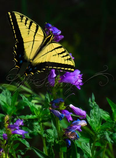 Two-Tailed Swallowtail on purple penstemon