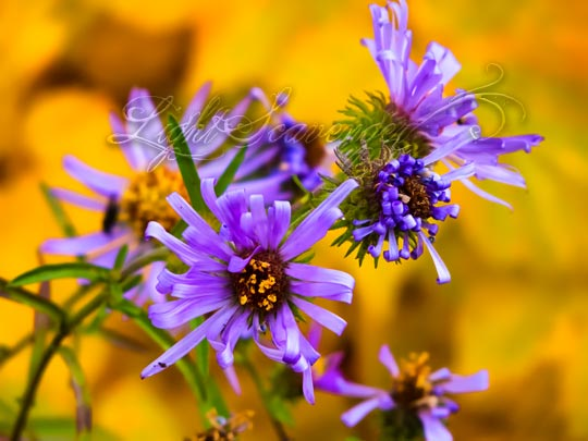 Purple Asters in Fall