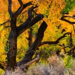 Bosque Cottonwoods